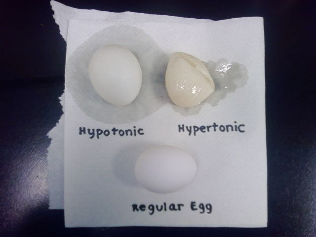egg osmosis lab report Dissolve the eggshell—without breaking the membrane that contains the egg  then use your naked egg to experiment with osmosis, the movement of water.